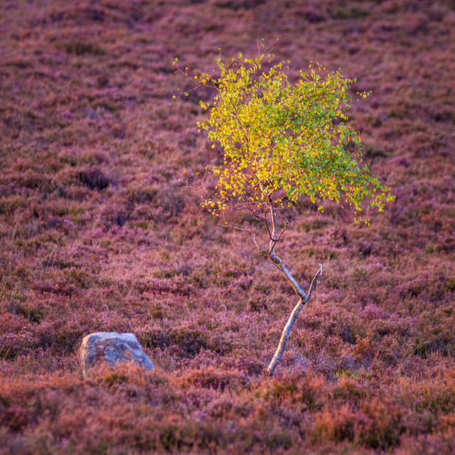 """Silver Birch Sapling among the Heather"" stock image"