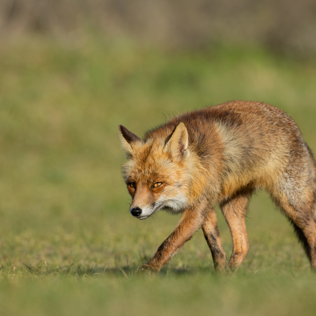 """Red Fox walking on the grass"" stock image"