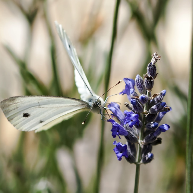 """""""Butterfly on lavender"""" stock image"""