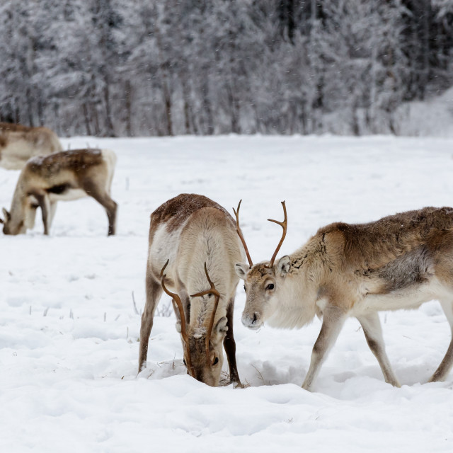 """""""Reindeer grazing"""" stock image"""