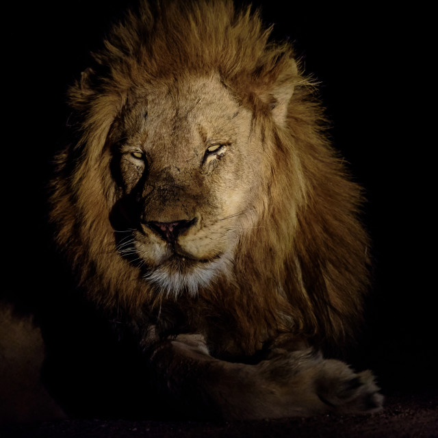 """Lion's face in the darkness"" stock image"