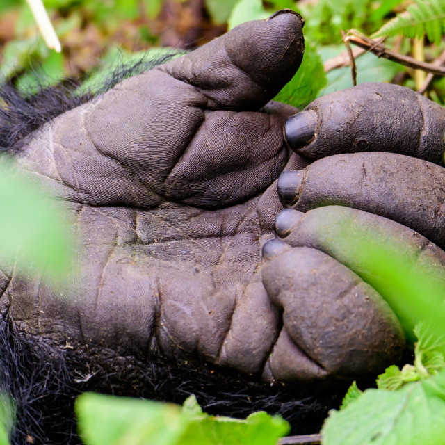 """""""hand of a Gorilla"""" stock image"""
