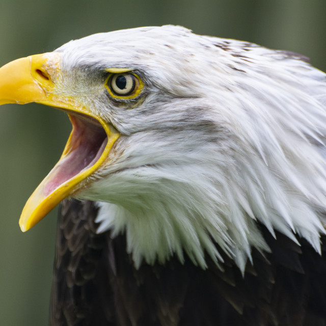 """Bald Eagle, expressing an opinion"" stock image"