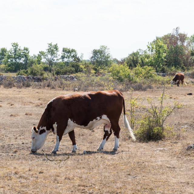 """""""Grazing cattle in a dried grassland"""" stock image"""