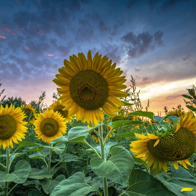 """Sunflower Field at Sunset"" stock image"
