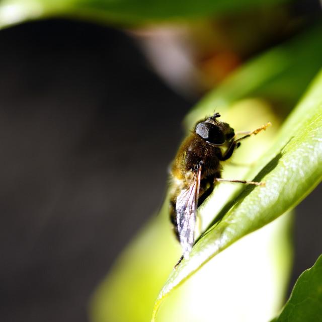 """Sunbathing Dronefly"" stock image"