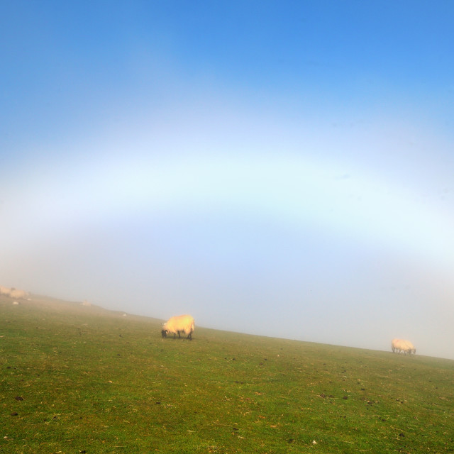 """""""White Rainbow and the sheep"""" stock image"""