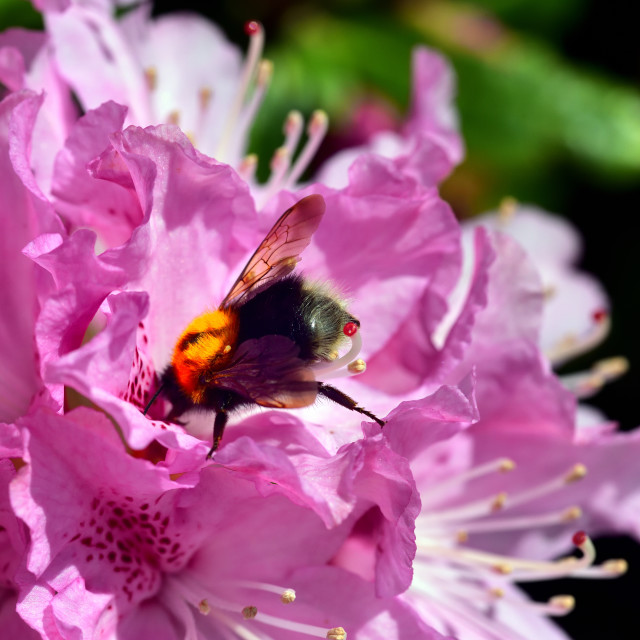 """""""Bumble Bee and the Rhododendron"""" stock image"""