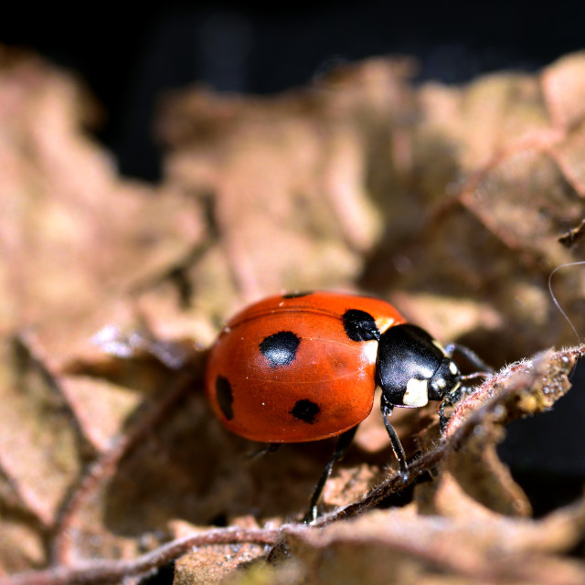 """""""Red and Black Ladybird"""" stock image"""