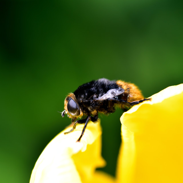 """""""Bumble Bee and the Tulip"""" stock image"""