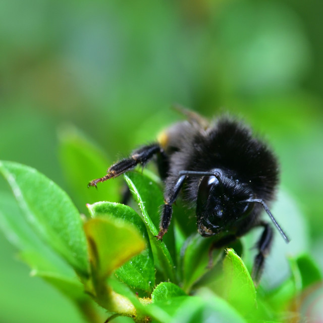 """""""Resting Red Tailed Bee"""" stock image"""
