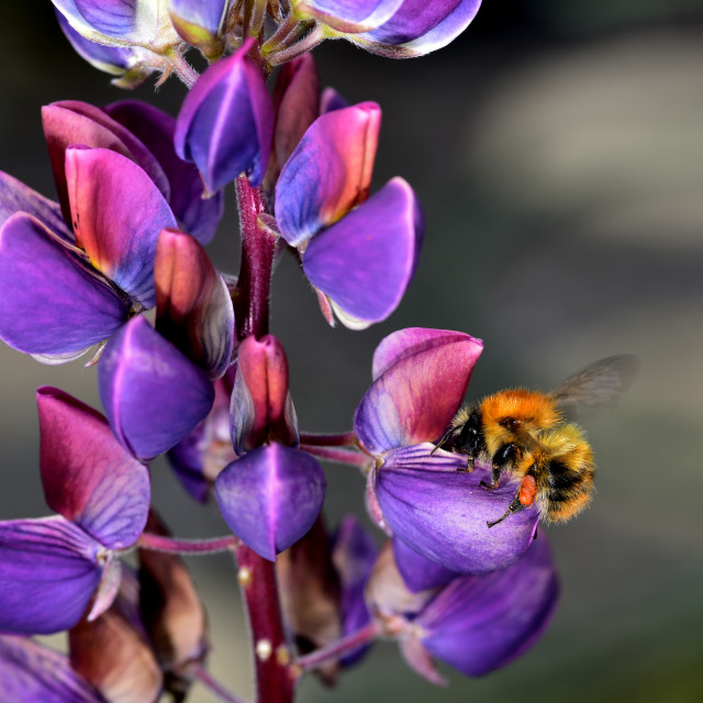 """""""Bumble Bee and the Lupin"""" stock image"""