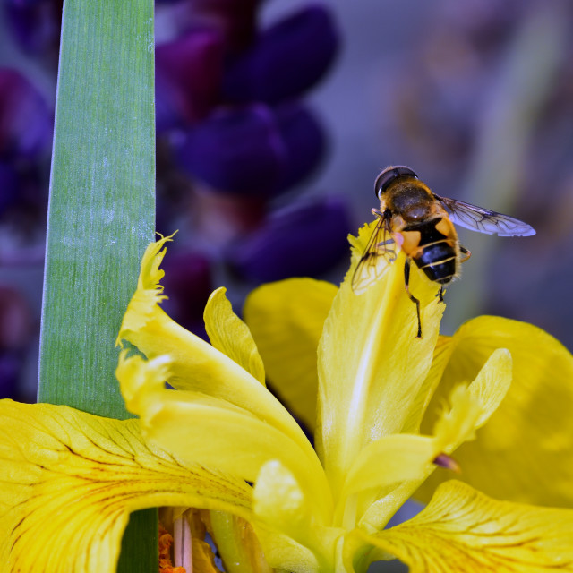 """""""Drone Fly on a yellow Iris"""" stock image"""