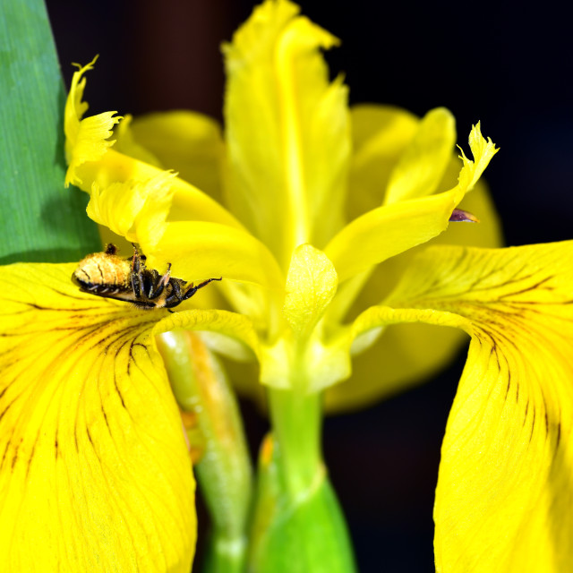 """""""Leaf cutter bee on a yellow Iris"""" stock image"""
