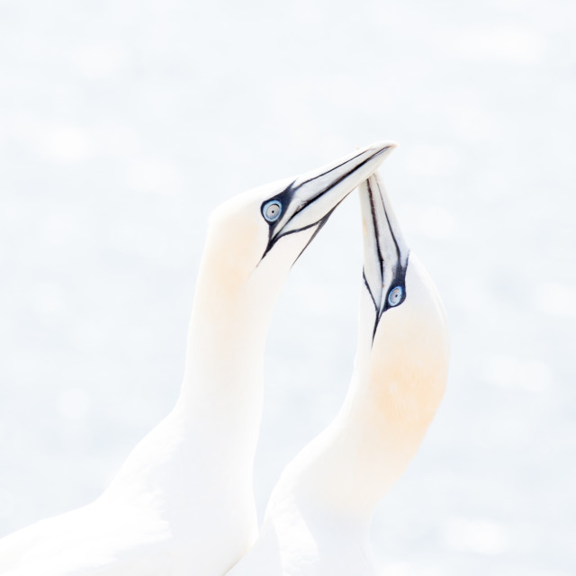 """Gannets"" stock image"