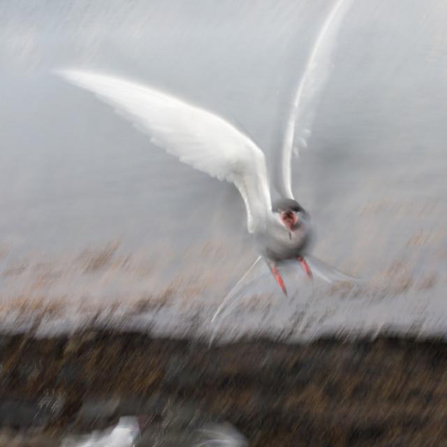 """""""Angry Tern (1)"""" stock image"""