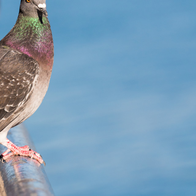 """""""Pigeon Perched with Great Copy Space of a Blue Sky"""" stock image"""