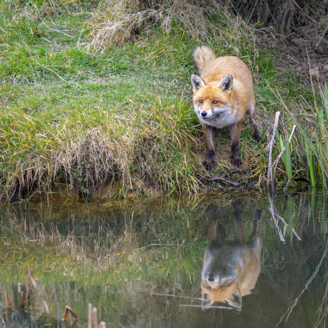 """Fox & Reflection"" stock image"