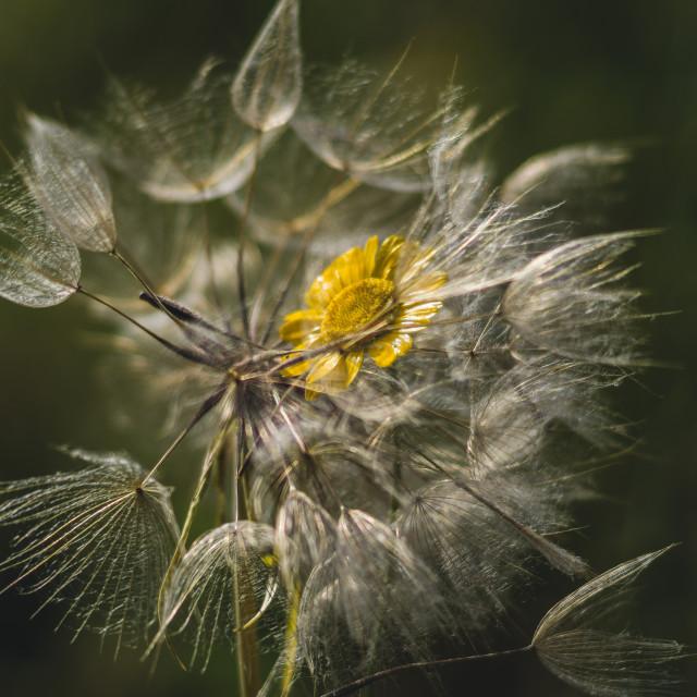 """The dandelion"" stock image"