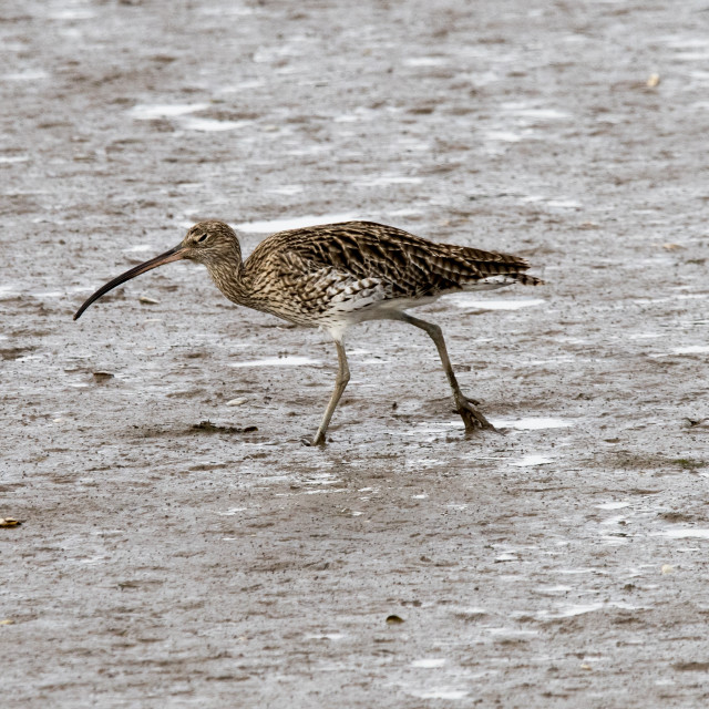"""""""Curlew"""" stock image"""
