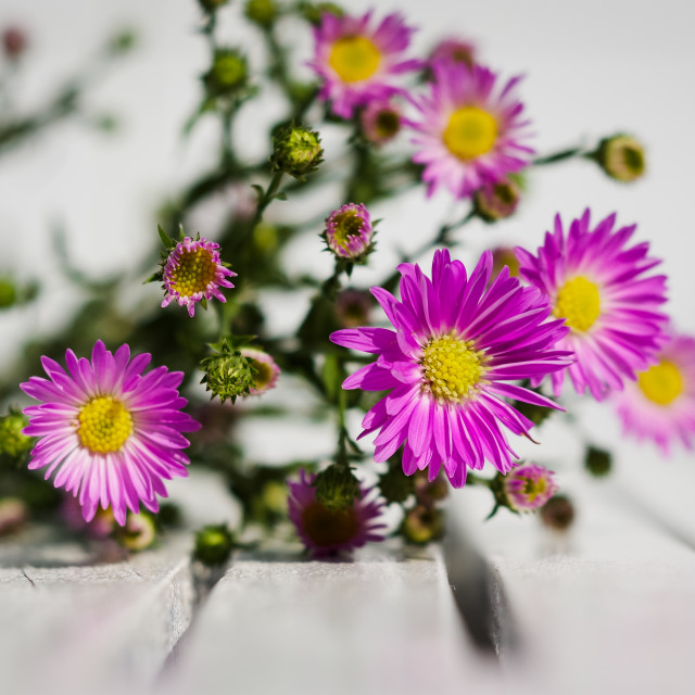 """Blooming Alpine asters flowers on the white wooden table"" stock image"