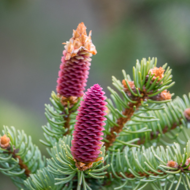 """Norway spruce"" stock image"
