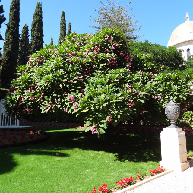 """""""Plumeria tree with red flowers at the Baha'i Gardens."""" stock image"""