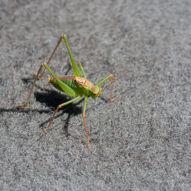 """Speckled Bush Cricket Male"" stock image"