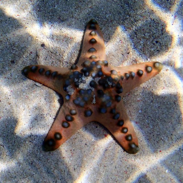 """seastar close up in the sea"" stock image"