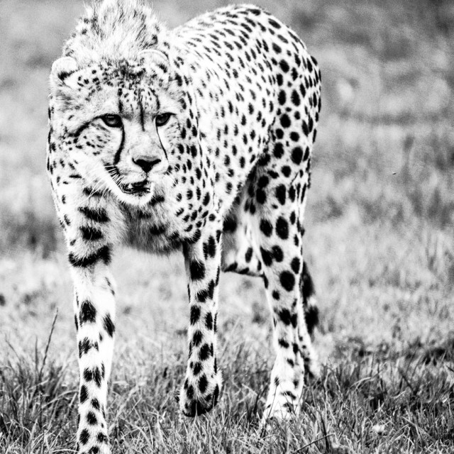 """Cheetah 1"" stock image"