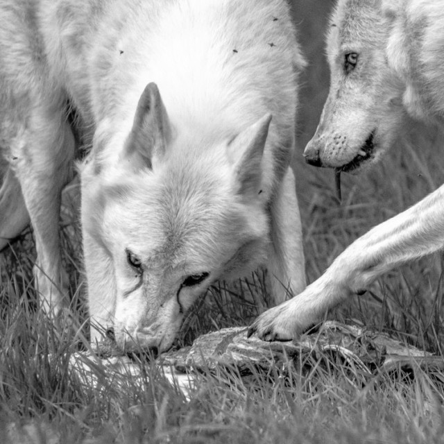 """Grey Wolves Feeding 1"" stock image"