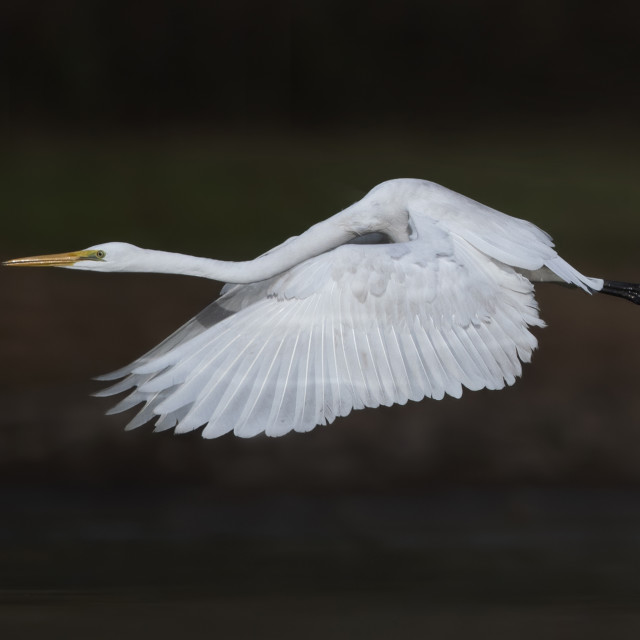 """Great Egret Flying"" stock image"
