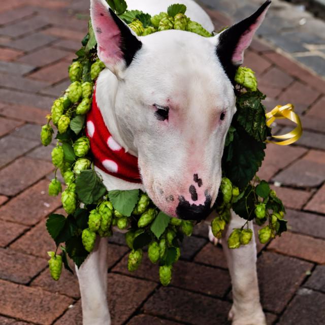 """""""Bull Terrier"""" stock image"""