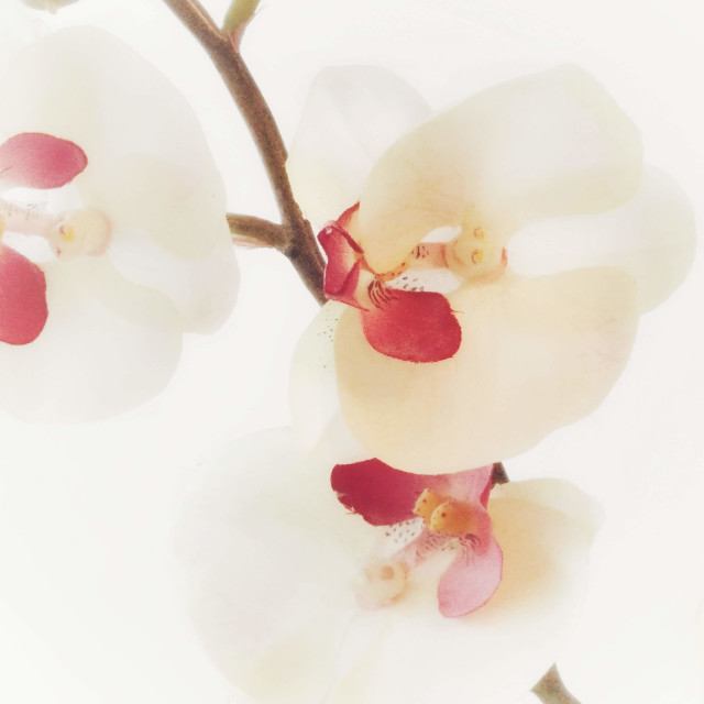 """""""Pink Orchid"""" stock image"""
