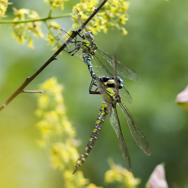 """""""Engaged Dragonflies"""" stock image"""