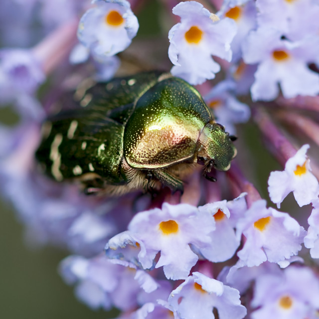 """""""A green and gold bug emerging from a flower"""" stock image"""