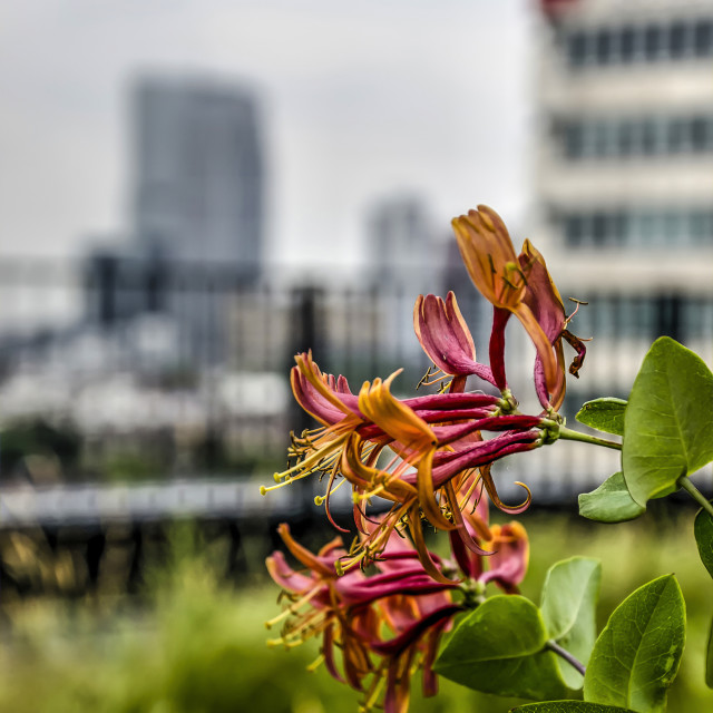 """Rotterdam honeysuckle"" stock image"