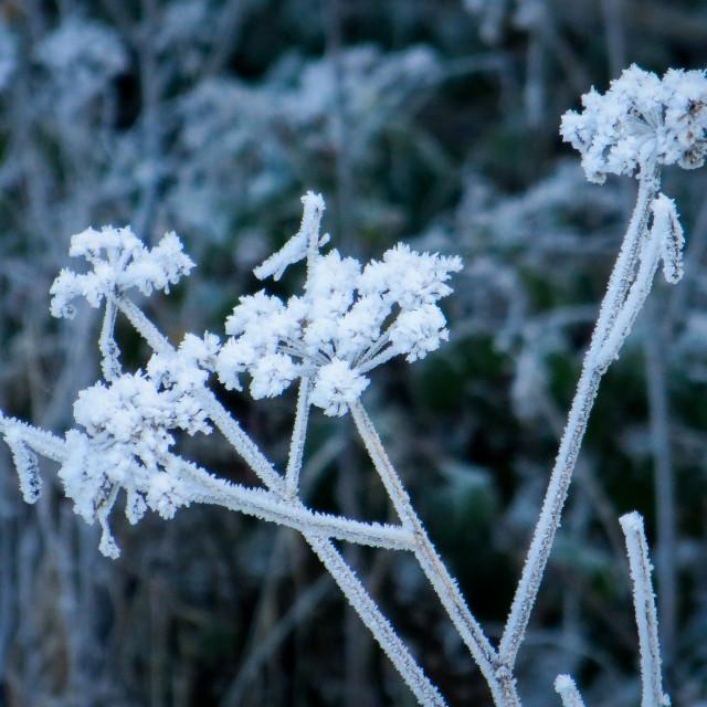 """""""Frozen flower"""" stock image"""
