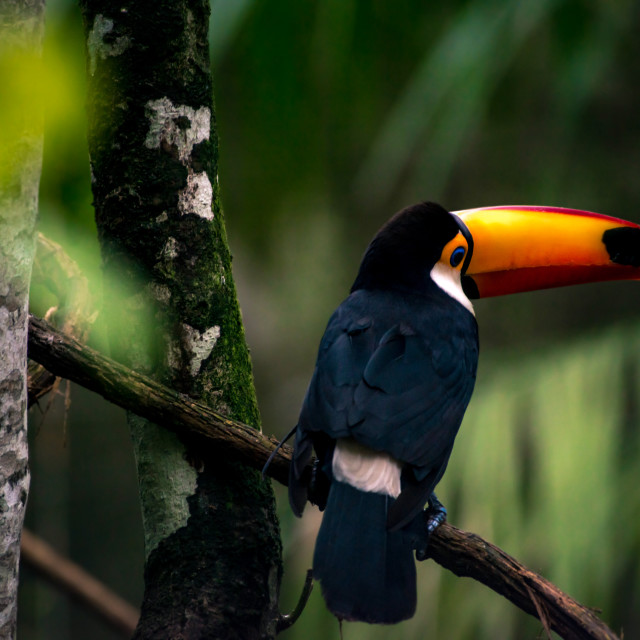 """Toco Toucan"" stock image"