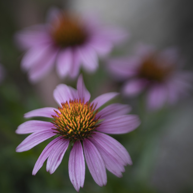 """Purple Cone Flower"" stock image"