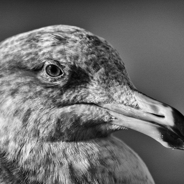 """Seagull Portrait in Monochrome"" stock image"