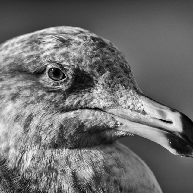 """""""Seagull Portrait in Monochrome"""" stock image"""