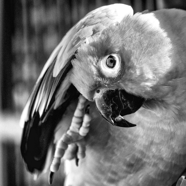 """Sun Conure in Black and White"" stock image"