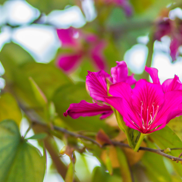 """""""Beautiful pink orchid tree flower (Phanera purpurea) with green leaves..."""" stock image"""