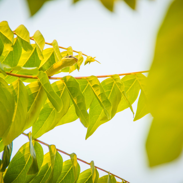 """Cute golden tree snake (Chrysopelea ornata) is slithering on green tree...."" stock image"