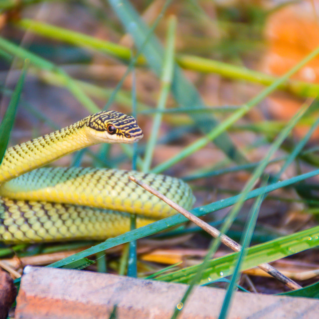 """""""Cute golden tree snake (Chrysopelea ornata) is slithering on cluttered grass...."""" stock image"""