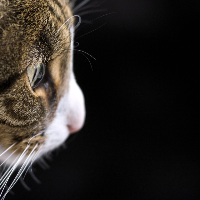 """""""Cat face side profile against a black background"""" stock image"""