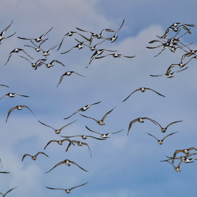 """A flock of Oyster Catchers in flight"" stock image"