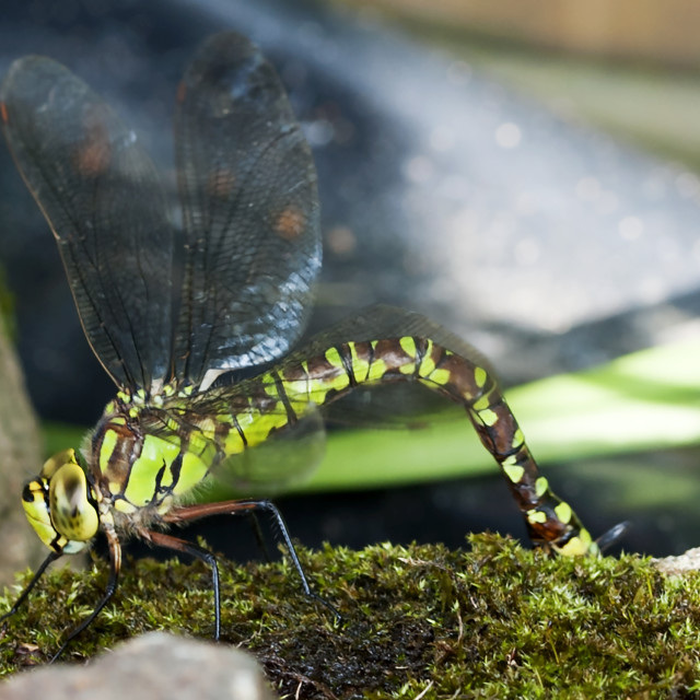 """""""Southern Hawker"""" stock image"""