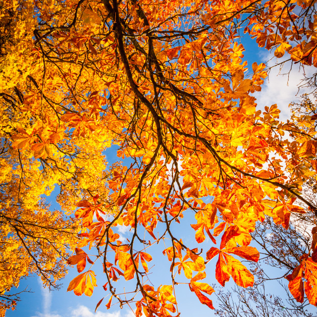 """Beautiful, autumnal background with canopy of leaves and branches"" stock image"